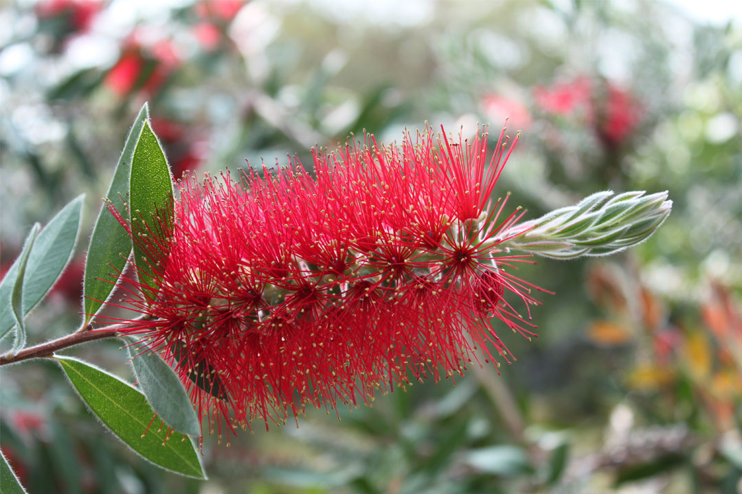 'Callistemon macropunctatus var macropunctatus' by Col Ford and Natasha de Vere, flic.kr/p/9CYEL6, Creative Commons Attribution 2.0